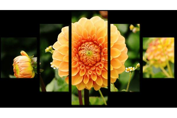 Апельсиновый георгин