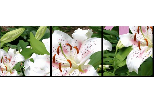 Красота белой лилии