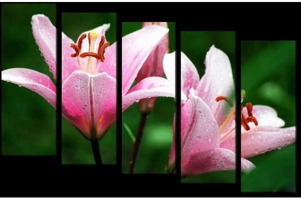 Лилии в росе