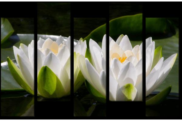Цветы лилии на воде