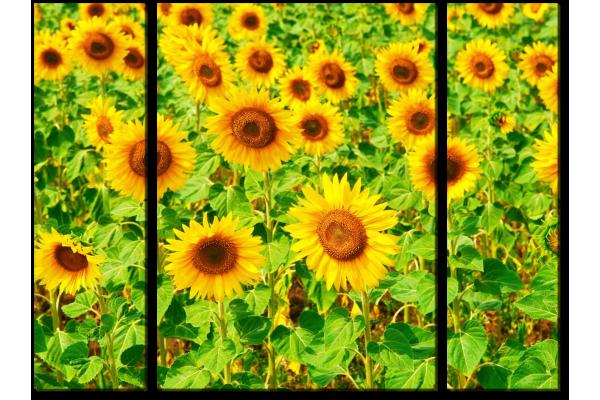 Цветущие подсолнухи