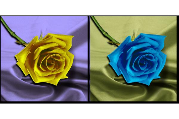 Желтая и голубая роза