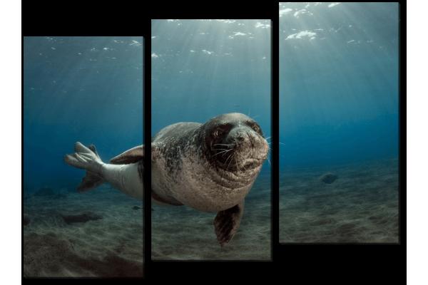 Белобрюхий тюлень