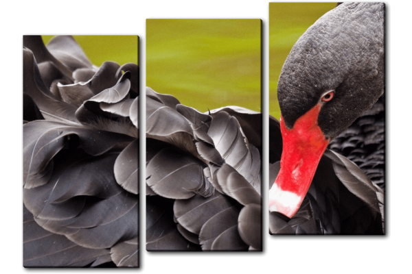 Красота черной птицы