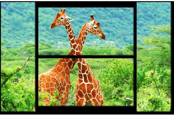 Борьба двух жирафов
